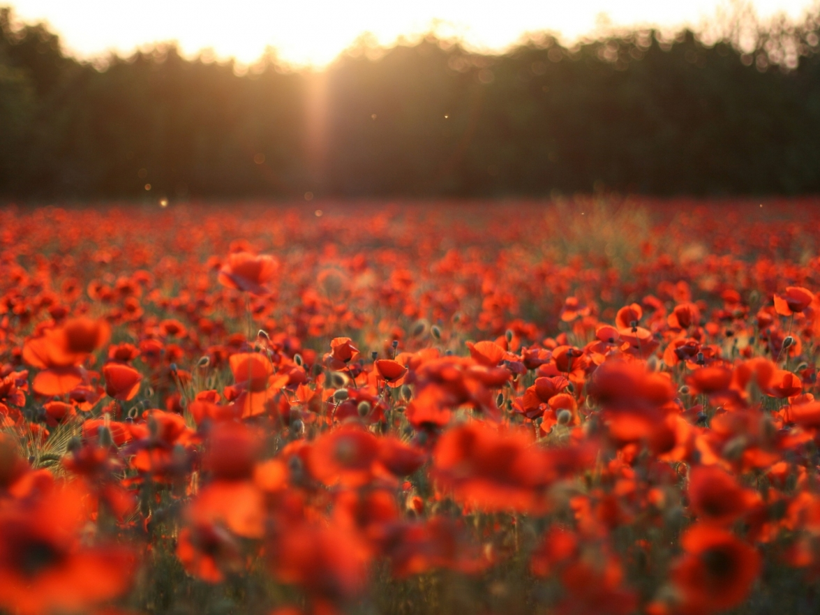 Flanders remembers Poppies - In Flanders fields